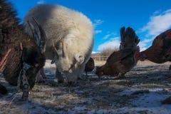 Козы и цыпленок Стоковые Изображения