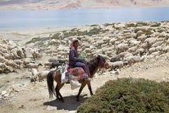Козы и чабан Pashmina в Ladakh, Индии Стоковое Фото