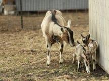 Козы Калифорнии коза ищет 2 молодых дет козы Стоковое Фото