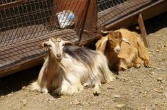 2 козы кладя на том основании Стоковое Фото