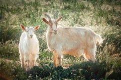 Козы матери и ребенк в выгоне отечественные козы внешние свободно Стоковые Изображения