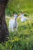 Козы младенца ягнятся стойка в траве лета Молодые козы пасут в луге стоковое фото rf