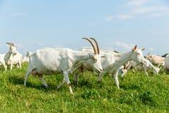 Козы молока на выгоне Стоковое фото RF