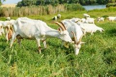 Козы молока на выгоне Стоковое Изображение RF