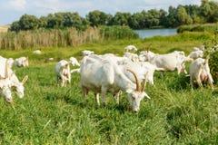 Козы молока на выгоне Стоковая Фотография RF