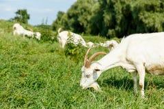 Козы молока подавая на выгоне Стоковая Фотография