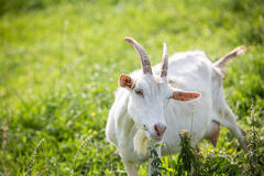 Козы молока подавая на выгоне Стоковые Фото