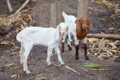 Козы младенца в ферме Стоковые Изображения RF