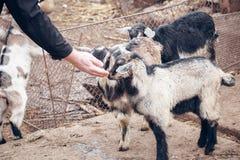 Козы младенца на ферме Стоковые Изображения RF