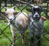 Козы младенца на ферме Стоковое Изображение
