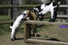 Козы младенца Стоковые Фото