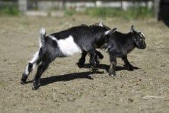 Козы младенца Стоковая Фотография RF