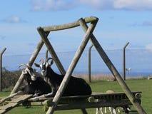 Козы на взбираясь рамке Стоковое Фото