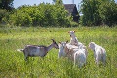 Козы на выгоне в летнем дне Стоковая Фотография RF