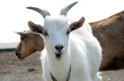 2 козы на выгоне Стоковое Фото