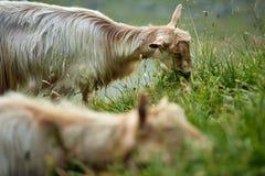 Козы на горе Стоковое Фото