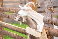 Козы на загородке на ферме Стоковые Фотографии RF