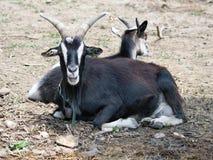 2 козы на земле Стоковые Фото