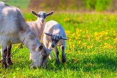 Козы на зеленой лужайке Стоковая Фотография RF