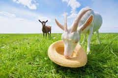 2 козы на зеленом луге с соломенной шляпой Стоковые Фотографии RF