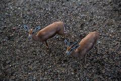Козы на зоопарке в Белграде Стоковое Фото