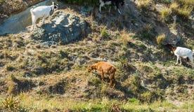 Козы на крутом холме в Сардинии Стоковые Изображения RF