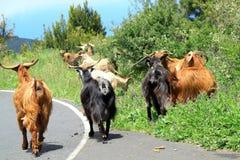 Козы на дороге к другому выгону Стоковое Фото