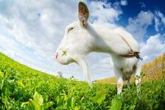 Козы на луге Стоковые Фото