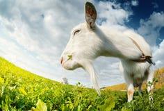 Козы на луге Стоковое фото RF