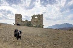Козы на холме в острове Kalymnos, Dodecanese, Греции Стоковая Фотография RF