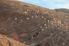 Козы на холме Стоковая Фотография RF