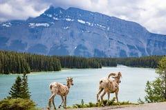 2 козы озером 2 Джек в национальном парке Balff Стоковые Фотографии RF