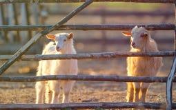 Козы около загородки на ферме Стоковая Фотография RF