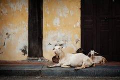 Козы ослабляют на старом доме в Ханое, Вьетнаме Стоковые Фото