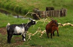 Козы пасут в paddock с зеленой травой и потоком Стоковое Изображение