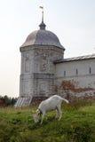 Козы пасут около древних стен монастыря Goritsky Pereslavl-Zalessky Россия Стоковое Изображение RF