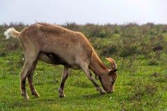 Козы пасут траву Стоковые Фотографии RF
