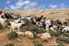 Козы пася в горах пустыни Стоковые Изображения RF