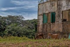 Козы пася в отдаленной области Африки anisette стоковые изображения rf