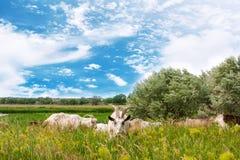 Козы пася в полях Стоковые Изображения