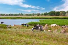 Козы пася в полях Стоковые Изображения RF