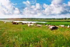 Козы пася в полях Стоковое Фото