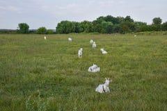 Козы пася в луге Стоковое Фото