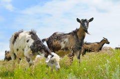 козы пася на выгоне Стоковые Изображения RF