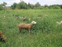Козы пася на траве в поле стоковое изображение rf