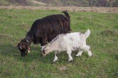 2 козы пася на луге весны Стоковое Изображение RF