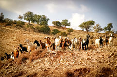 Козы пася на холме Кипр Стоковые Фотографии RF