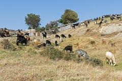 Козы пася на холме Среднеземноморской ландшафт Стоковое Изображение