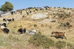 Козы пася на холме Среднеземноморской ландшафт Стоковые Фотографии RF