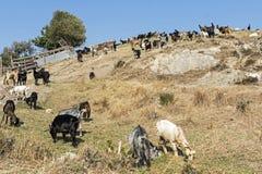 Козы пася на холме Среднеземноморской ландшафт Стоковое фото RF